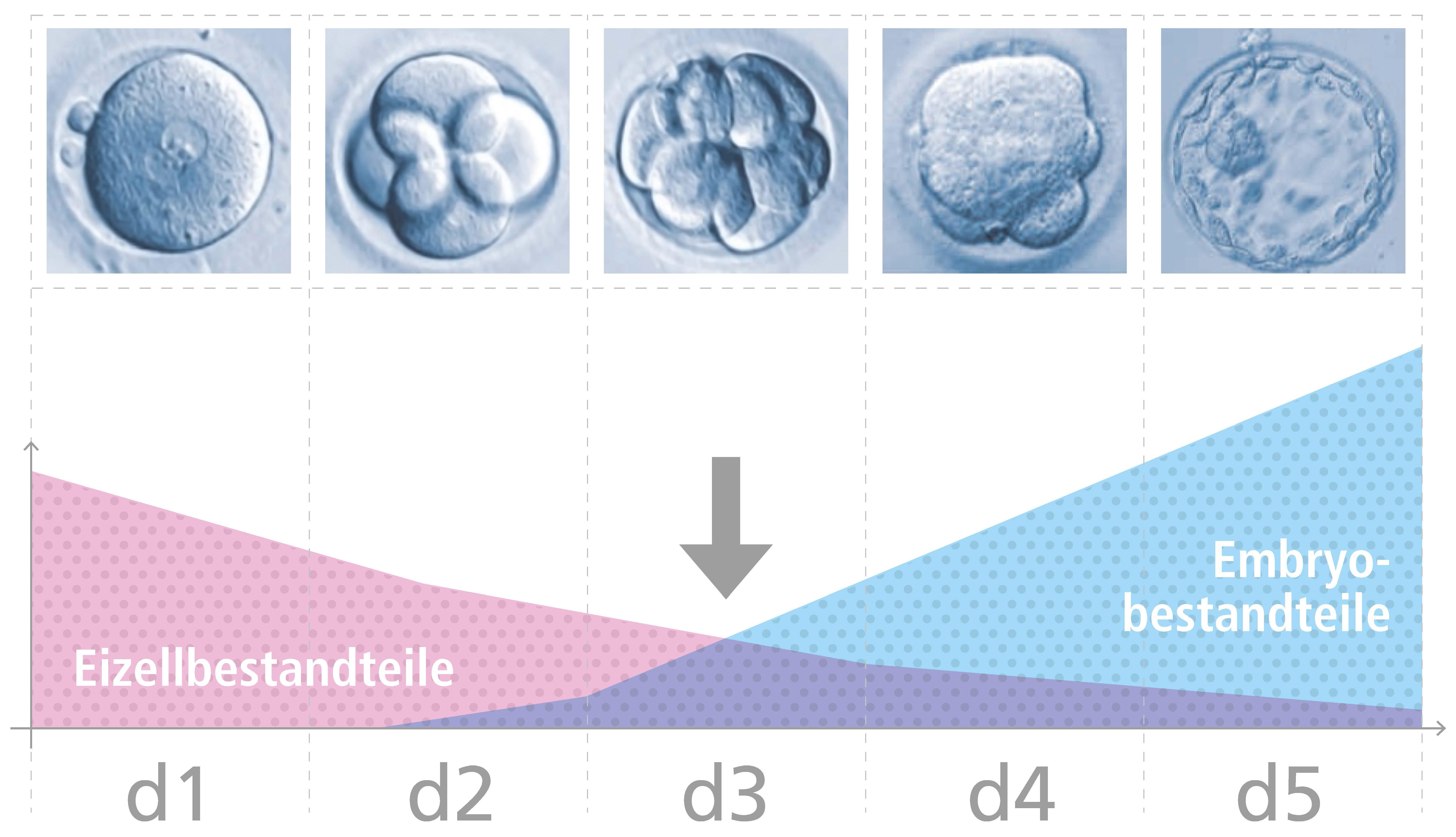 Grafische Darstellung der Transkriptionsaktivität während der Embryonalentwicklung │ © 2019 IVF Zentren Prof. Zech • Member of NEXTCLINICS