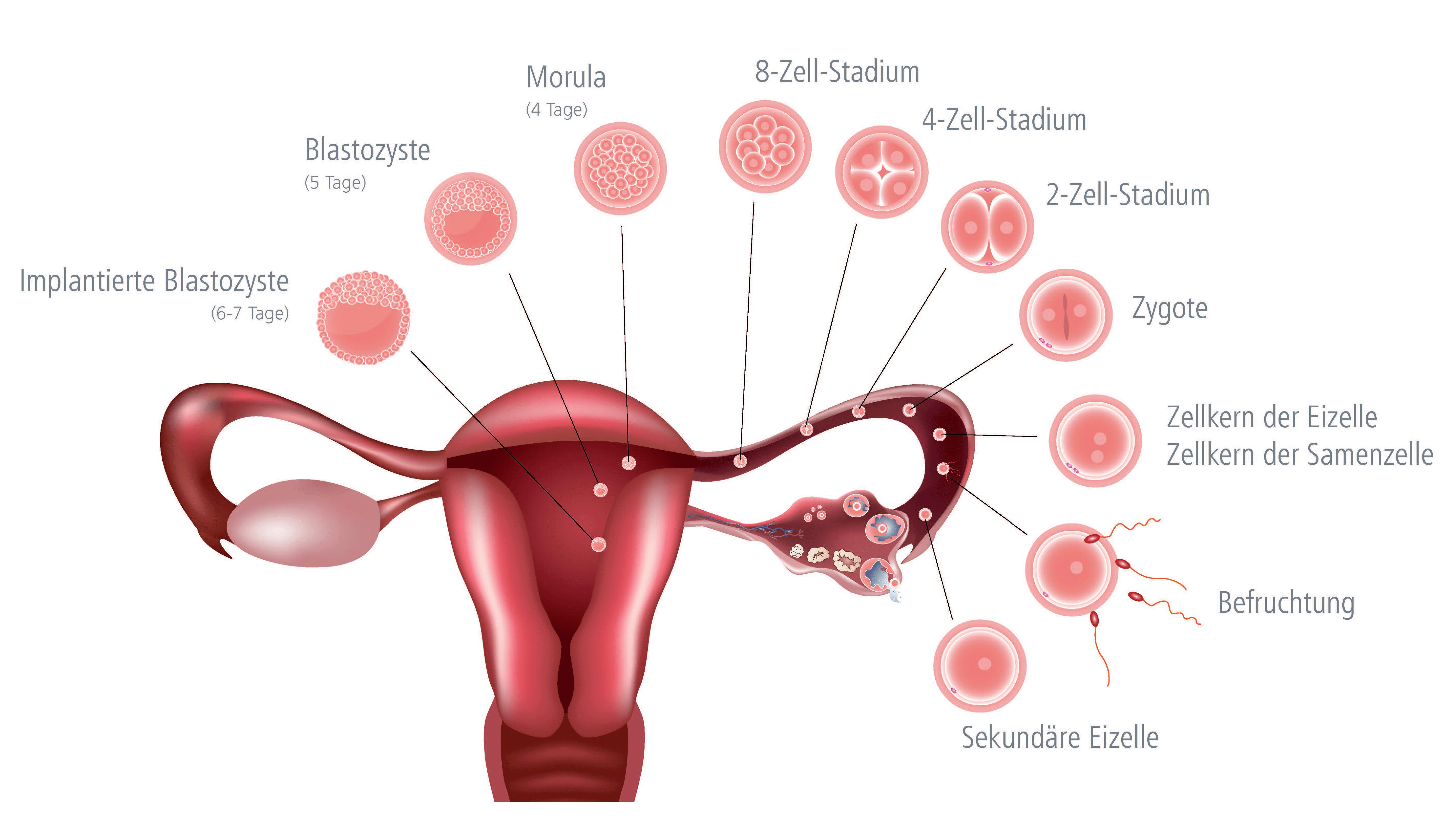 Schematische Darstellung der Eizell- und Enbryonalentwicklung im Zyklus einer Frau │ © 2019 Shutterstock/IVF Zentren Prof. Zech • Member of NEXTCLINICS
